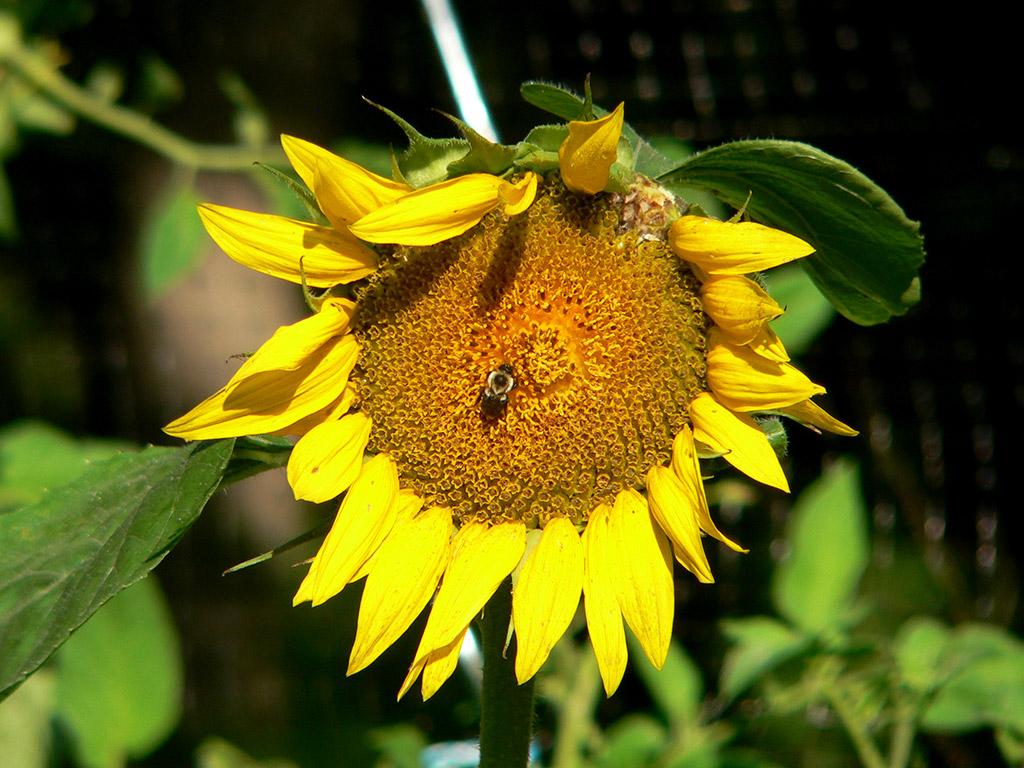 a25 Sunflower