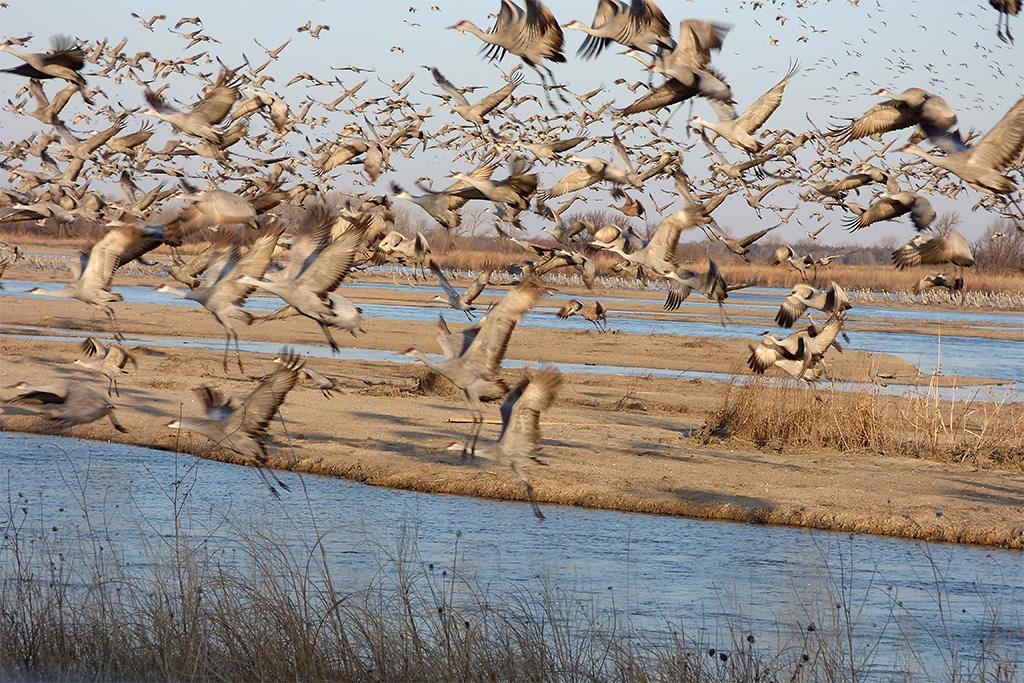 a37 Sandhill Cranes Rising