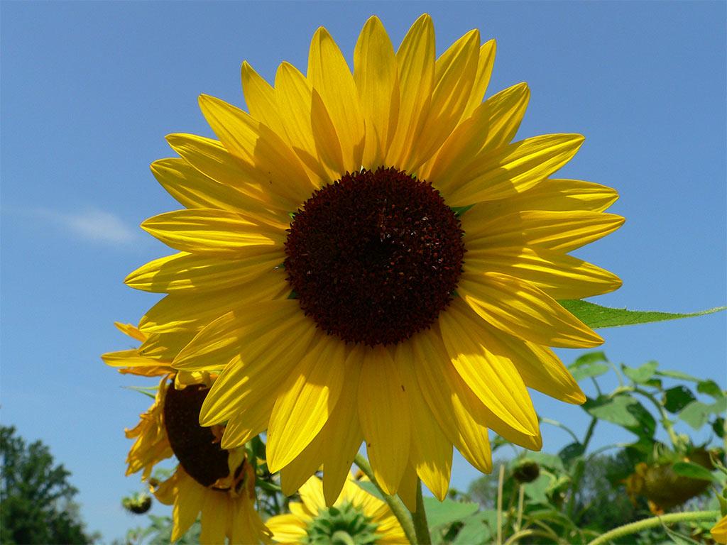 a96 Sunflower Sky