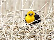 a101 Yellow-Headed Blackbird