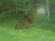 a41 Moth