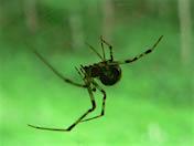 a79 Spider