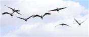 a71 Seven Sandhill Cranes