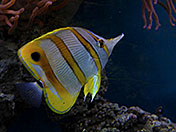 a95b Butterfly Fish
