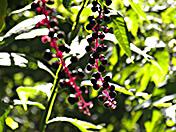 a19 Poke Berries
