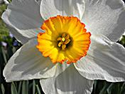 a8 Daffodil
