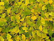 a84 Ginkgo Leaves