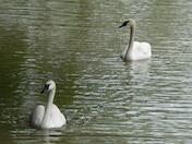 a27 Swans