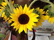 a100 Sunflower