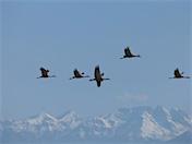 a36 Five Cranes over San Luis
