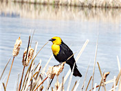 a98 Yellow-headed blackbird