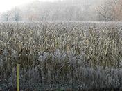 a91 Frosty Corn