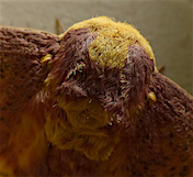a52 Imperial Moth