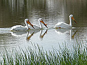a89 Three White Pelicans